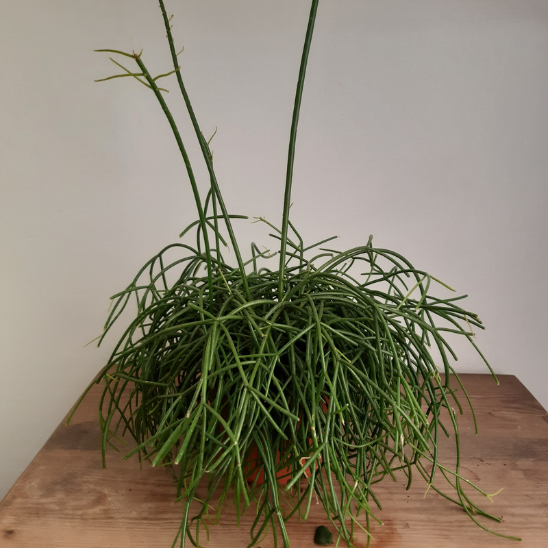 Rhipsalis only 1 17cm remaining