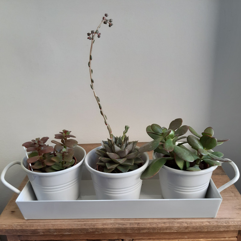 Garden Trading 3 pots on a tray with 3 succulents or cacti